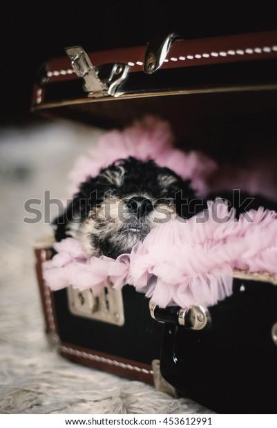 Fox terrier puppy sleep in a vintage suitcase.