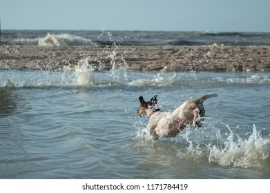 Fox Terrier runs in the water, splashes, the sea
