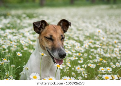 Fox terrier young dog sitting on the green field chamomiles and daisy field.;