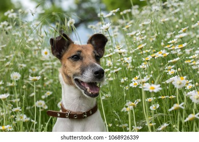 Fox terrier young dog sitting on the green field chamomiles, and smiles;