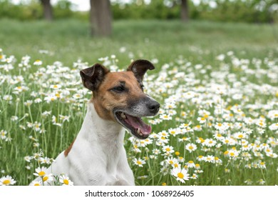 Fox Terrier young dog is sitting on the green field chamomiles, and smiles