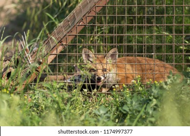 Fox trapped in a cage. the fox trapped into the cage. fox trap