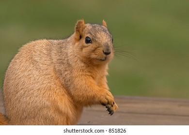 Fox Tree Squirrel