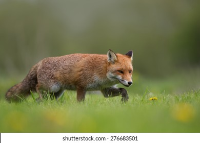 Fox (Vulpes vulpes) stalking in the grass