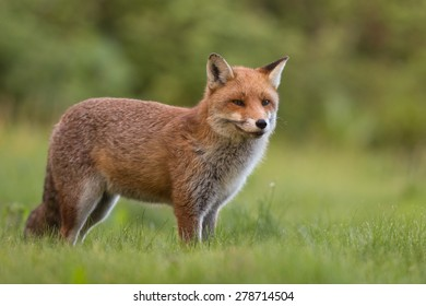 Fox (Vulpes vulpes) standing in grass