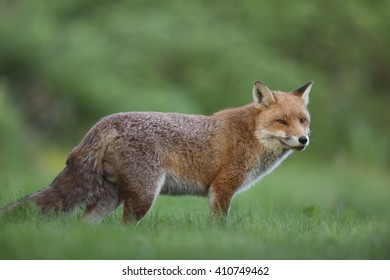 Fox (Vulpes vulpes) standing in the grass in the countryside