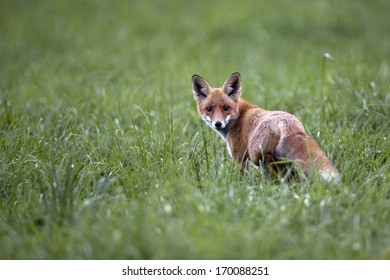 Fox in the wild, in the clearing