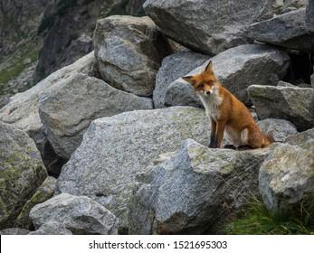 The fox in wild in High Tatras mountains. Slovakia.