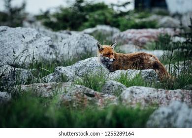 Fox in the wild, on the mountain Brocken
