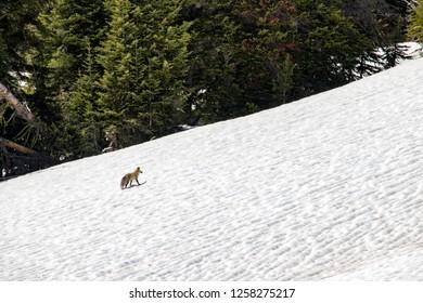 Fox Idaho Images Stock Photos Vectors Shutterstock