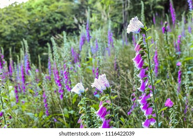 Foxglove Flower (Common Foxglove, Purple Foxglove or Lady's Glove) Blooming On the Trail of Alishan Forest Railway Mianyue Line, Alishan National Scenic Area, Chiayi,Taiwan