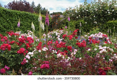 Foxgloves Digitalis Amongst Red And Pink Roses Rosa In A Flowerbed