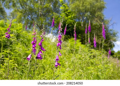 Foxgloves, digitalis purpurea, growing on the side of the Malvern Hills, Worcestershire, England, UK