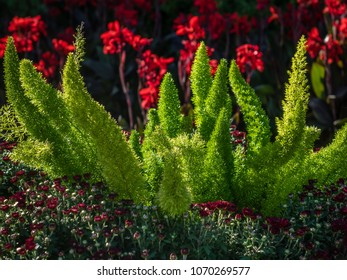 FOXTAIL ASPARAGUS FERN with Red Crested Celosia in background