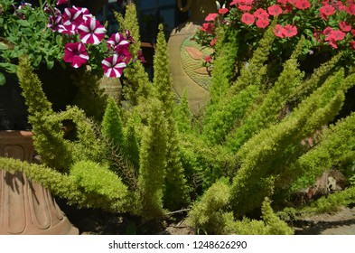 Foxtail fern a semi-evergtreen plant with a  long, upright, plume-like stems hold soft, needle-like leaves, turning red and ornamental berries in fall, excellent for hanging baskets and containers