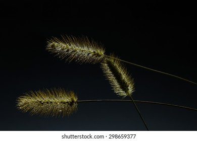 Foxtail grass with water drops in low light