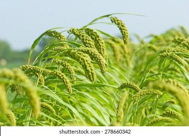 Foxtail millet crop field, Salunkwadi, Ambajogai, Beed, Maharashtra, India, Southeast, Asia