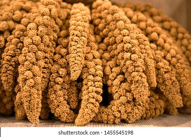 Foxtail millet (Setaria italica) is an annual grass grown for human food. Other names for the species include dwarf setaria, foxtail bristle-grass, giant setaria, green foxtail, Italian millet.