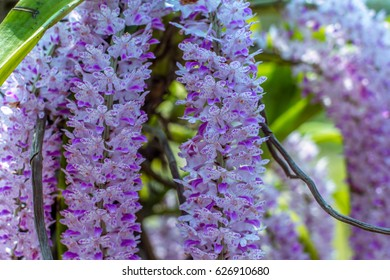 Fox-tail Orchid