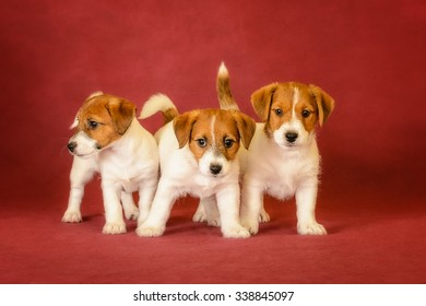 foxterrier puppies on red