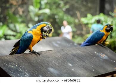 Foz do Iguacu, Brazil, June 15, 2015: Colourful residents at the Foz do Iguacu Bird Park (Parque das Aves) near Iguassu / Iguacu Falls. General travel imagery for Brazil.