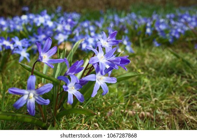 Fragile blue small spring flowers park stock photo royalty free fragile blue small spring flowers in city park in sweden scandinavia close up shot mightylinksfo