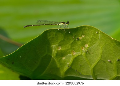 Fragile Forktail Damselfly perched on a lily pad. Don Valley Brickworks park, Toronto, Ontario, Canada