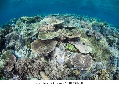 Fragile, hard corals grow on a shallow reef in Wakatobi National Park, Indonesia. Many corals, such as these small table corals, like to be where they can be exposed to bright sunlight.