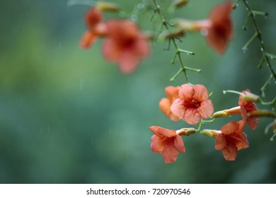 Fragile red Flowers growing in the Summer Garden with soft green background