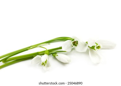 fragile snowdrops isolated on white