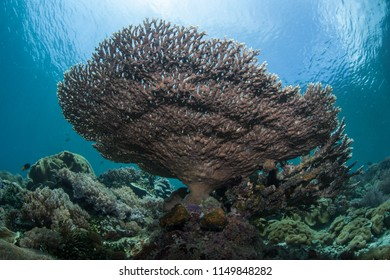 A fragile table coral, Acropora sp., grows in Raja Ampat, Indonesia. This remote, tropical region is known as the heart of the Coral Triangle due to its incredible marine biodiversity.