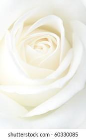 Fragile white rose. Macro.
