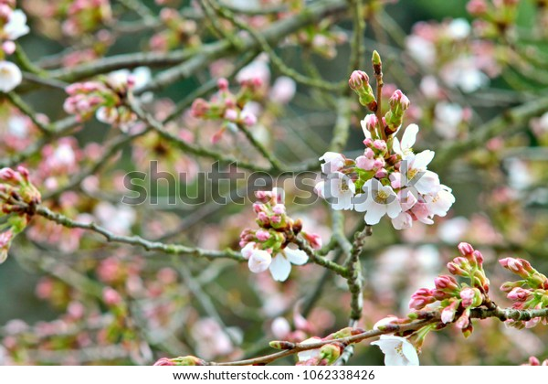 Fragile wild cherry blossom in german park. Shallow focus background. First fine spring blooms and buds.