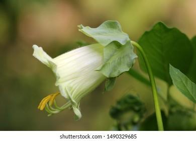 Fragility, Freshness and Vulnerability, Bellvine flower