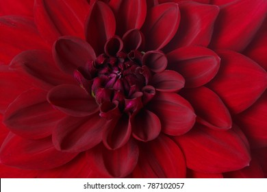 Fragment of burgundy dahlia flower, macro.
