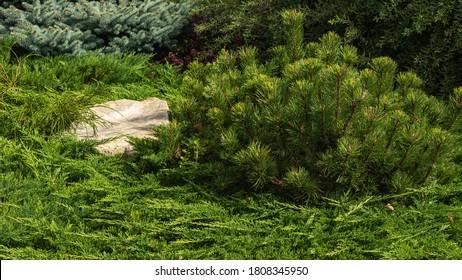 Fragment of a decorative alpine slide, landscape design - rockery with conifers, alpine grasses, stones and large pebbles