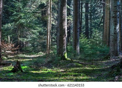 Fragment fir forest in sunlight. forestry in coniferous forest