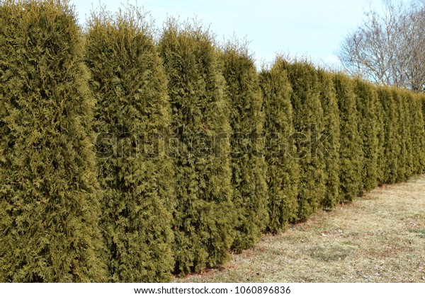 Fragment of hedge from evergreen decorative plants thuja variety Boothii ten years old in early spring day.