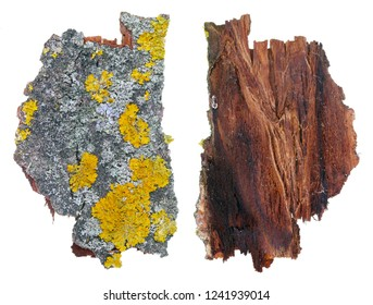 Fragment of natural european forest  gray and yellow moss and  lichen  plant on aspen tree bark.  Isolated on white studio macro  shot