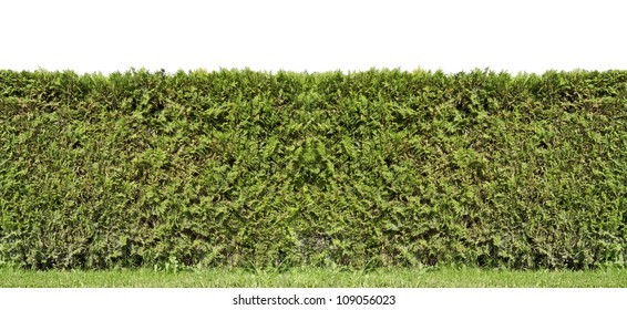 Fragment of a rural fence  hedge from evergreen plants  isolated. Sunny summer day