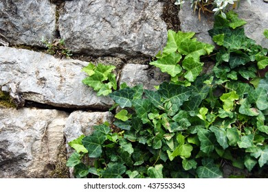 Fragment of a stone wall with ivy