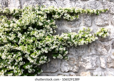 A fragment of a stone wall overgrown with flowering aromatic Jasmine in the spring in Montenegro