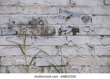 Fragment of whitewashed old brick wall with green stalk of grass, natural background