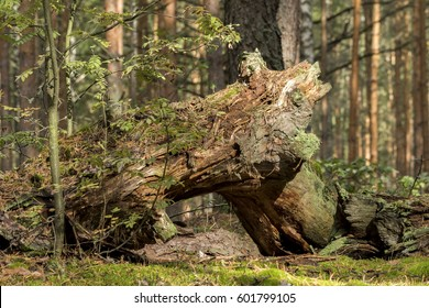 Fragments of the trunks of large trees and birches in the autumn forest. Close-up. Russia