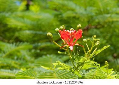 Fragrant and beautiful flowers of mahogany, natural tropical background.