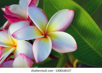Fragrant blossom of white and pink frangipani flowers, also called plumeria and melia