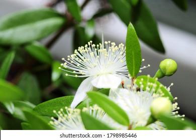 Fragrant flower of myrtle or Myrtus communis close-up on a dark green background.