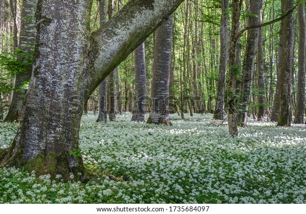 Fragrant forest. The ground of the deciduous forest is covered with wild garlic, which has spread over the entire forest.