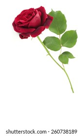 A fragrant home grown single red rose isolated on a white background,vertical with plenty of space for text, perfect for Valentine's Day