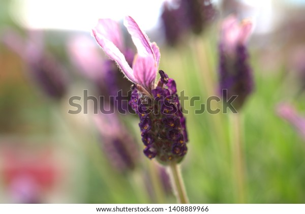 fragrant lavender flower in front of the house, in the garden